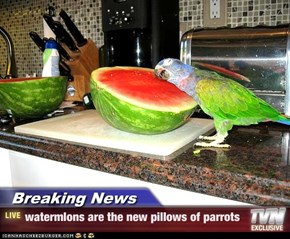 Breaking News - watermlons are the new pillows of parrots