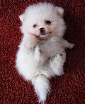 Cyoot Puppy ob teh Day: Teh Floofiest