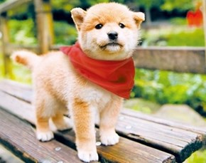 Cyoot Puppy ob teh Day: Charming Shiba