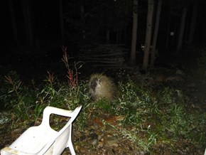 Mr. Fox Photobombs Neighborhood Porcupine