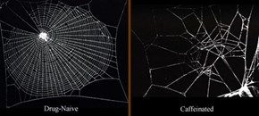 Spiders on Caffine