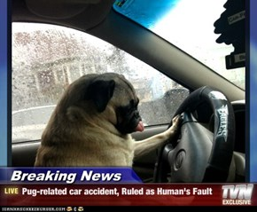 Breaking News - Pug-related car accident, Ruled as Human's Fault