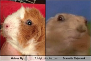 Guinea Pig Totally Looks Like Dramatic Chipmunk