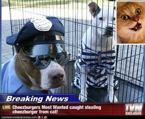 Breaking News - Cheezburgers Most Wanted caught stealing cheezburger from cat!