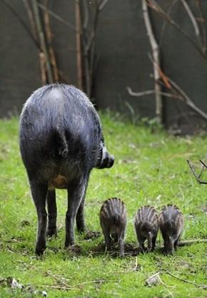 Squee Spree: Bye Bye Warty Pigs!