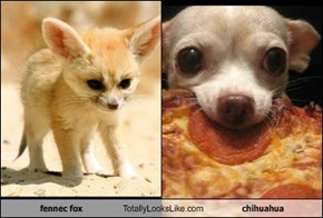 fennec fox Totally Looks Like chihuahua