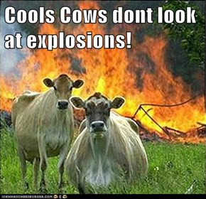 Cools Cows dont look at explosions!