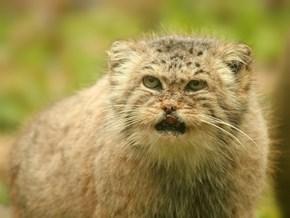 Pallas Grumpy Cat