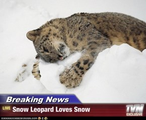 Breaking News - Snow Leopard Loves Snow