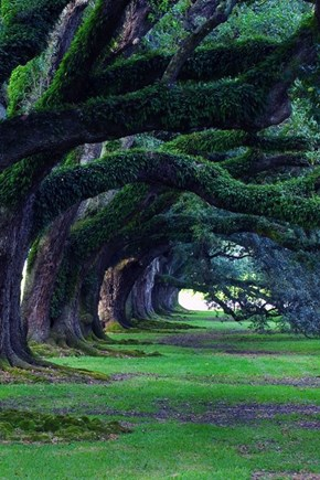 Walking Through the Oaks in Mississippi