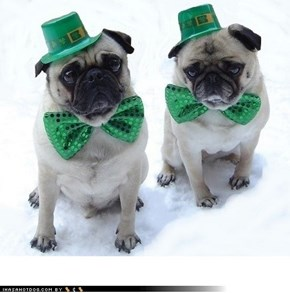 St. Patrick's Day Pugs