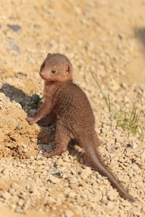 Squee Spree: Dwarf Mongoose