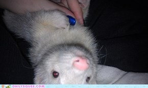 Morning Ferret Needs Belly Rubs!