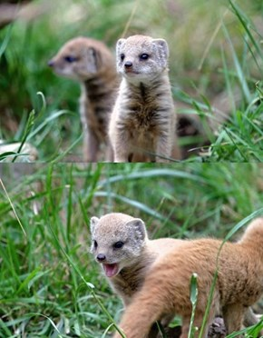 Squee Spree: Tiny Mongeese