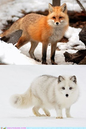 Squee Spree: Red Fox vs. Arctic Fox