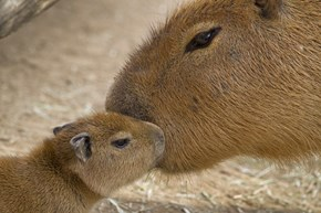Capybara Kisses