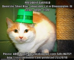 PRESIDENT GARFIELD                                                                                      Domestic Short Hair:  adoptable cat in Bloomington, IN                         Large • Adult • Male  Please  ADOPT me !! they making me waer Silly HATS