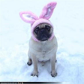Sad Pug Bunny