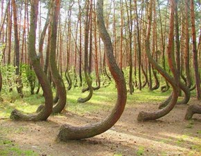 Poland's Crooked Forest