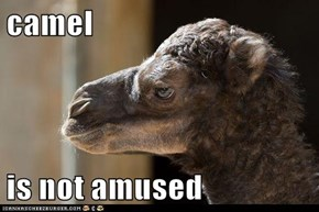 camel  is not amused
