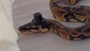 8 Snakes in Hats