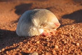 Golden Moles Are Size Queens