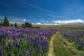 Lavender Fields in New Zealand