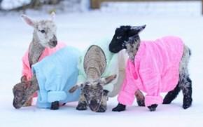 Newborn Lambs Keep Warm