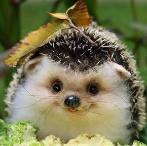 Delightfully Derpy Hedgehog