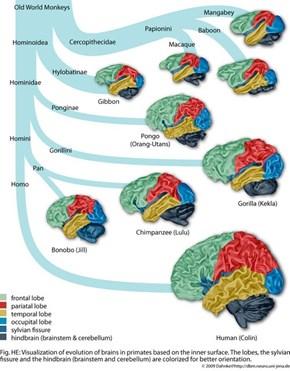 Primate Brains!