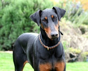 Goggie ob teh Week: Dobermans Win!