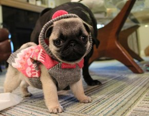 Cyoot Puppy ob teh Day: Sweater Pug