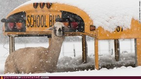 The Snow-Llamas Take a Bus as Their Own