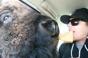 Just In Case You Haven't Seen a Man Sharing a Slice of Bred with a Bison Today