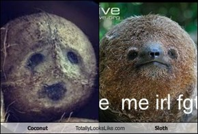 Coconut Totally Looks Like Sloth