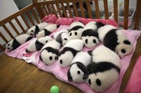 Panda Nap Time