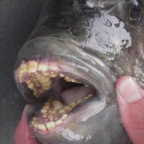 Sheepshead Fish Have Human Like Teeth... Eww