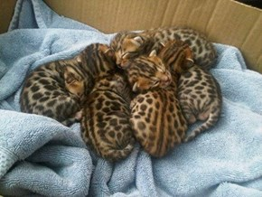 Bengal Kitties