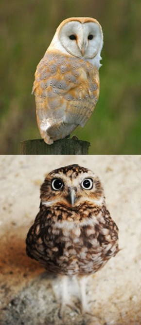 Squee Spree: Barn Owl vs Burrowing Owl
