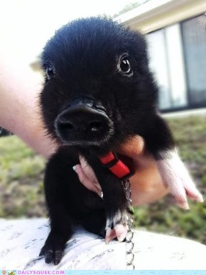 This Little Piggy Went Squee, Squee, Squee