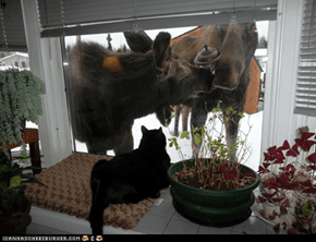 Moose visit Kitty