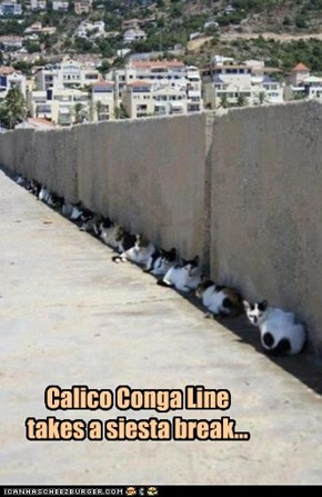 Calico Conga Line takes a siesta break...