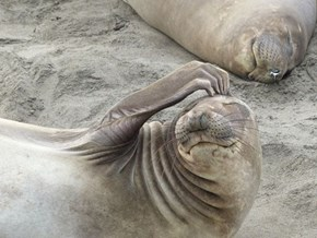 Thoughtful Elephant Seal