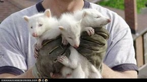 Albino Racoon Triplets