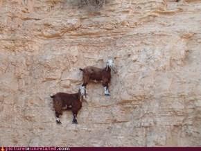 cliff goats