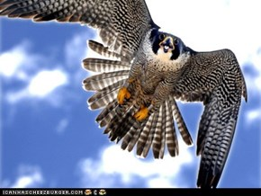 Madam X, Peregrine Falcon Nesting in Hamilton, Ont. (photo Ron Albertson/The Hamilton Spectator)