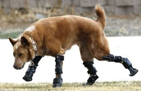 Awesome Science, Prosthetics for Dogs!