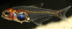 A Clear Fishy Discovered in the Amazon
