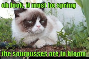oh look, it must be spring  the sourpusses are in bloom