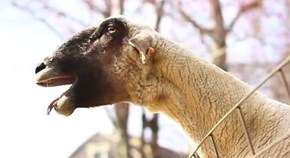 You Saw This Coming of the Day: A Yelling Goat Mistaken for a Distress Call